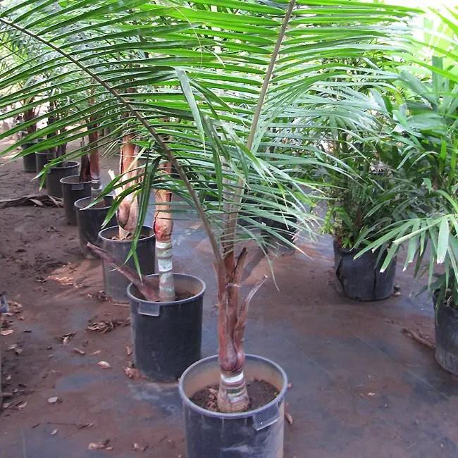 Teddy Bear Palm Tree (Dypsis leptocheilos) at the nursery