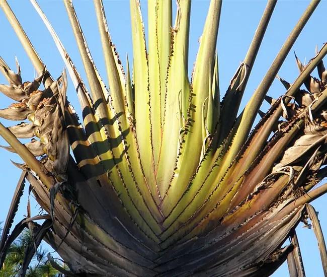 Travelers Palm Tree (Ravenala madagascariensis) stems.