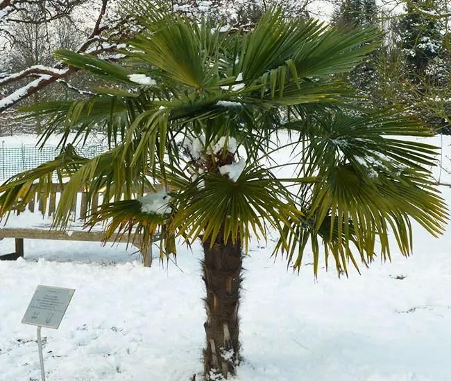 Windmill Palm Tree (Trachycarpus fortunei) in snow