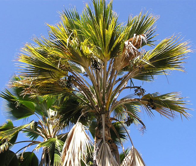 Sick palm tree picture.