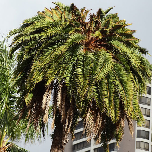 Sick palm tree