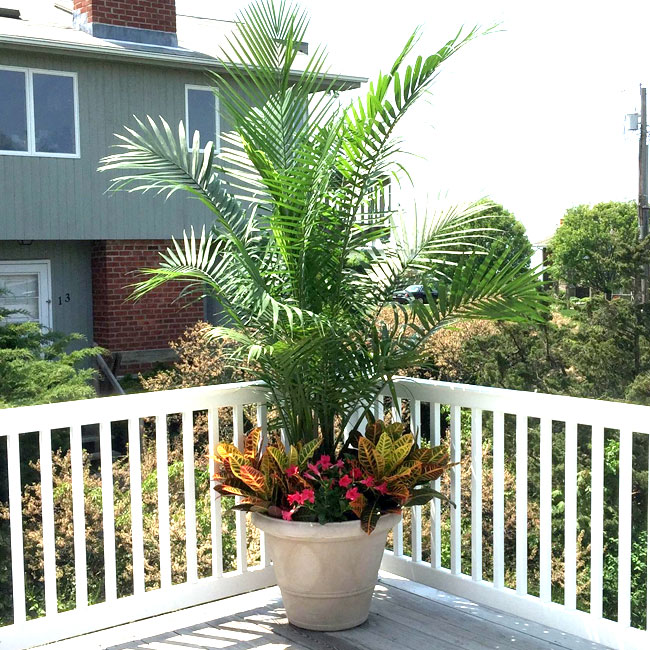 Picture of potted Majesty Palm in combination with other tropical plants.