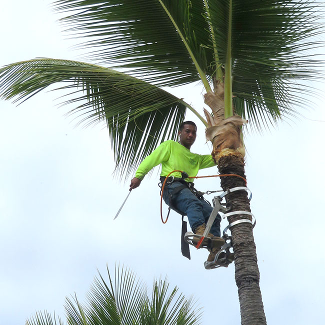 Photo of a climber trimming tall palm tree.