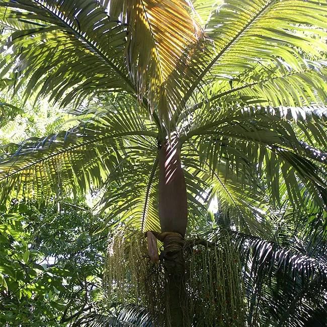 Purple King Palm Tree (Archontophoenix purpurea).