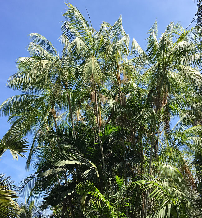 Acai Palm (Euterpe oleracea).