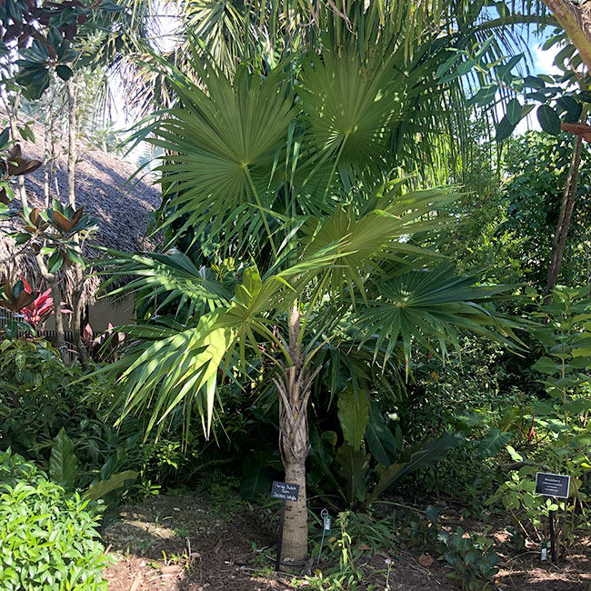 Florida Thatch Palm (Thrinax radiata)