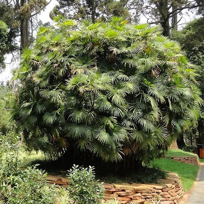 Jade Empress Palm Tree (Rhapis multifida)