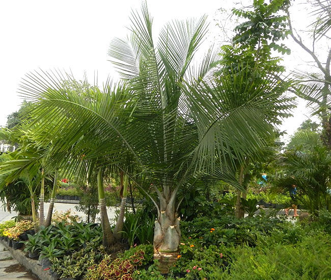 Majesty Palm Tree (Ravenea rivularis).