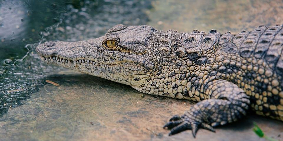 Nile Crocodiles in Florida Everglades