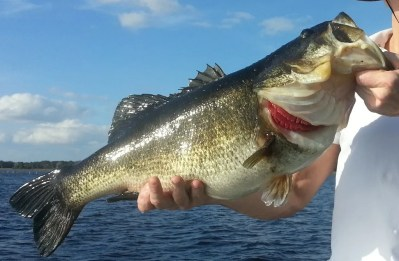 Trophy Bass Catch this Week on Lake Toho 12.5 Largemouth Bass