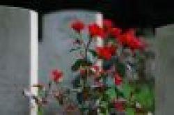 1102775_cemetery_roses.jpg