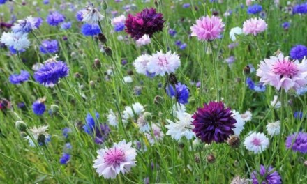 CORNFLOWERS, BACHELOR'S BUTTONS, BASKET FLOWER
