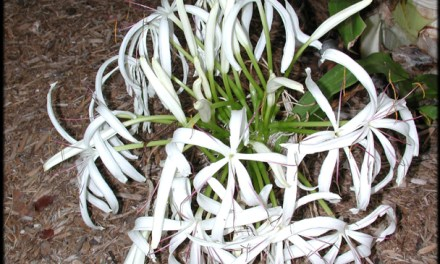 CRINUM SPECIES