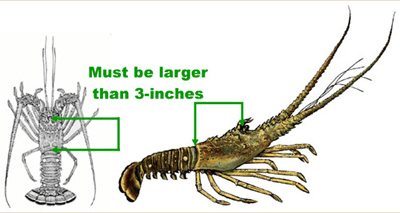 Lobster Diving Regulation