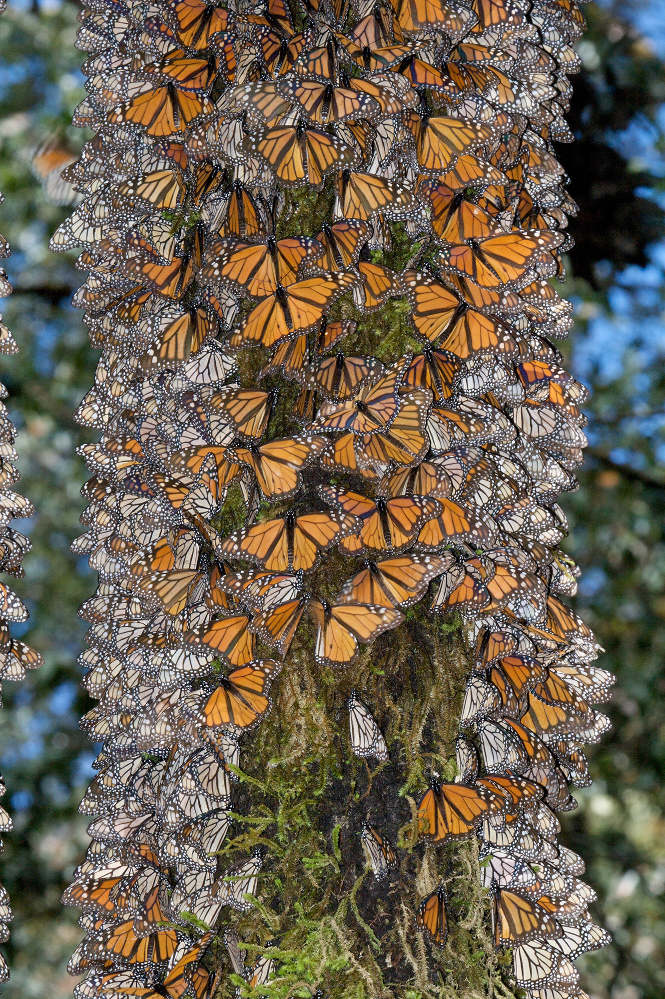 Monarch Migration In Mexico Florida Museum