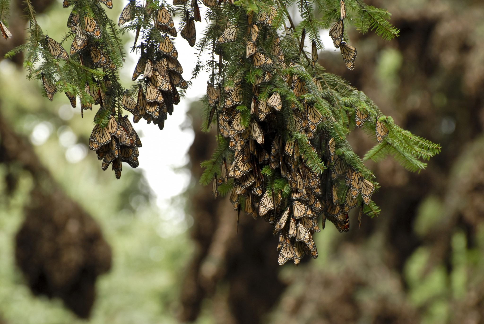 Florida Monarch Butterfly Populations Have Dropped 80