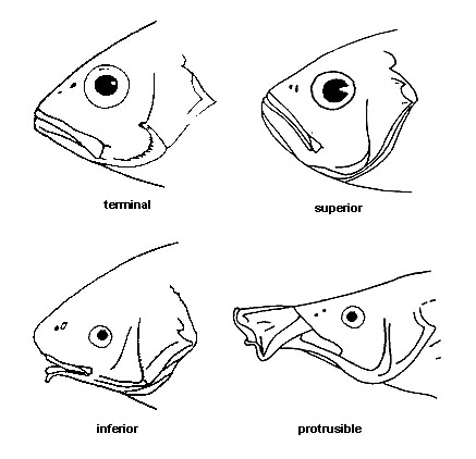 labelled diagram of a tilapia fish 2004 gmc yukon radio wiring mouth types discover fishes