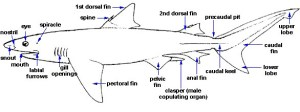 Shark Anatomy – Discover Fishes