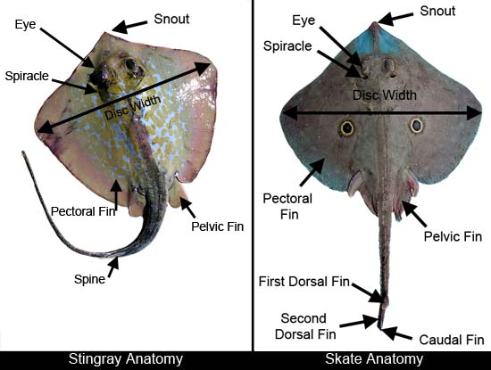 ray and skate diagram 2004 jeep grand cherokee door wiring harness anatomy discover fishes contact info