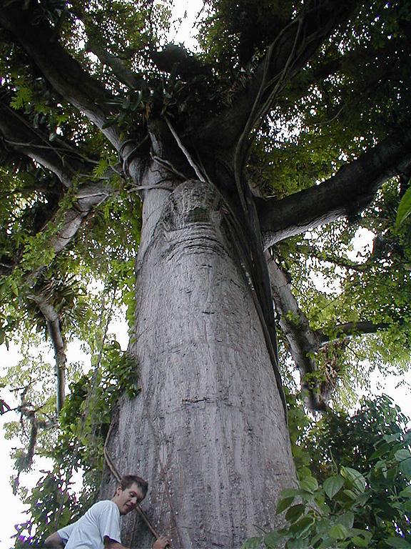 Silk Cotton Tree  Caribbean Archaeology Program