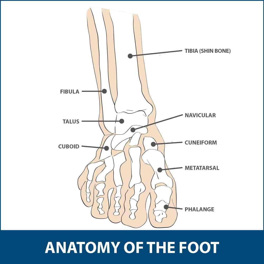medium resolution of the mtp joint is the largest of the two and is found where the first long bone of the foot metatarsal meets the first bone of the toe phalanx