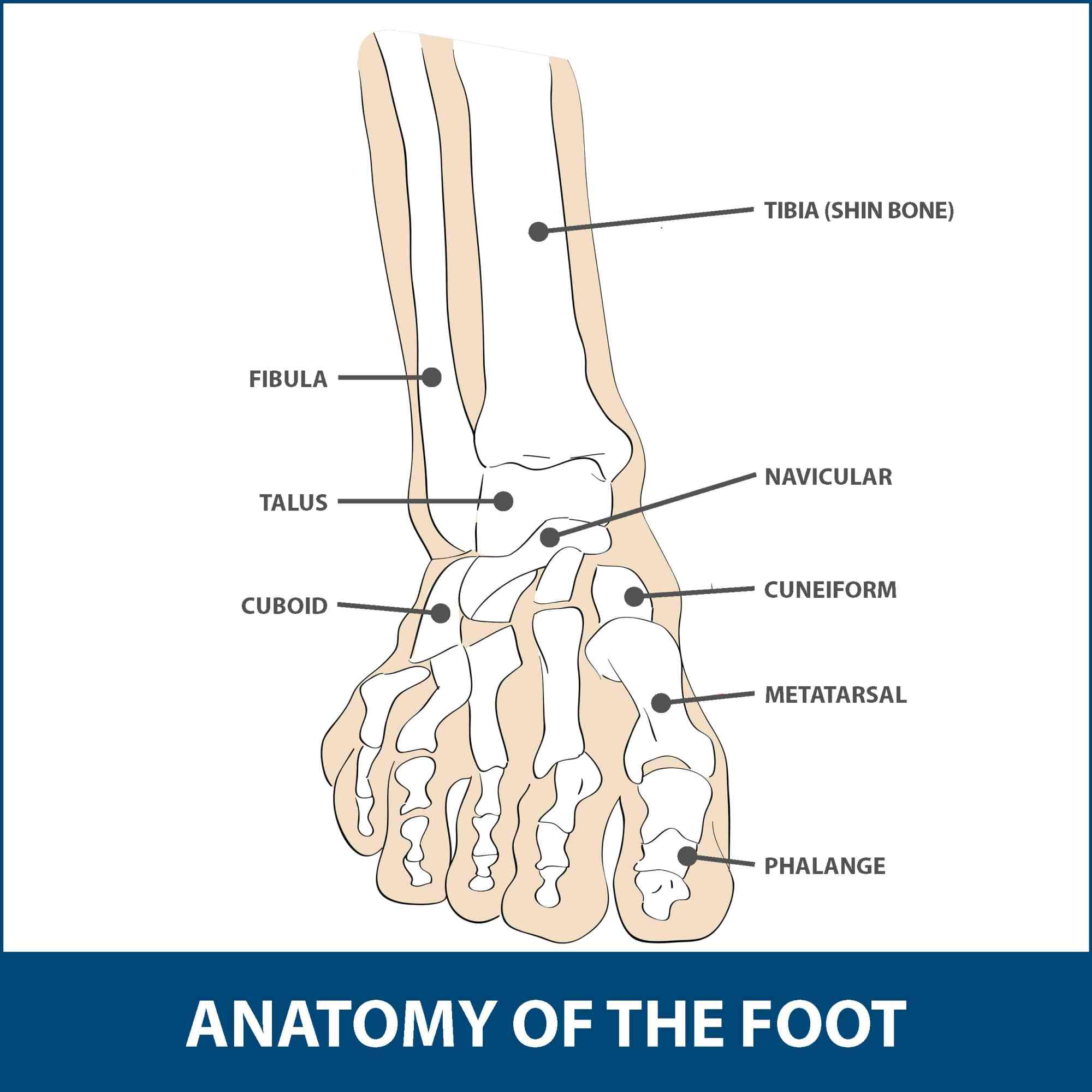 hight resolution of the mtp joint is the largest of the two and is found where the first long bone of the foot metatarsal meets the first bone of the toe phalanx