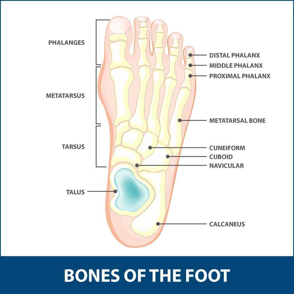 medium resolution of hallux rigidus diagram of the bones of the foot
