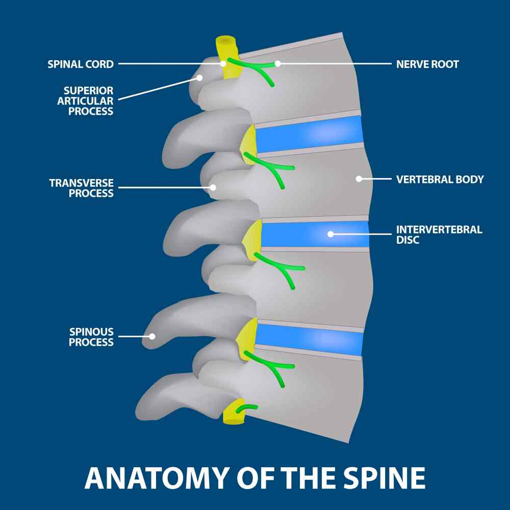 medium resolution of discitis the anatomy of the spine graphic