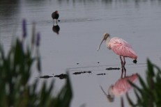 green cay roseate spoonbill