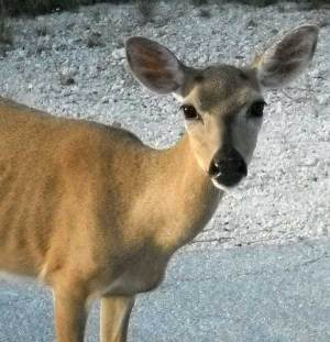 Key deer, No Name Key, Florida Keys