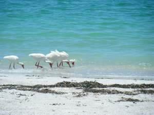 Birds at Cayo Costa's beach