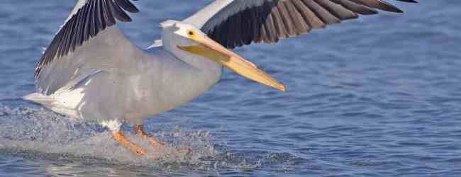 See white pelican migration on Florida's Gulf Coast
