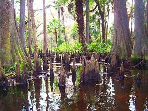 Loxahatchee River, Palm Beach County: Cypress knees