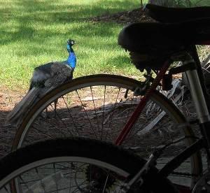 Peacock at Riverbend Park, Jupiter