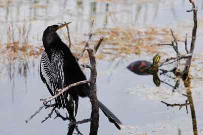 The anhinga is one of nearly 260 species of birds in the refuge.