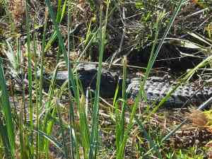 Mother and baby alligators at Everglades National Park at Shark Valley