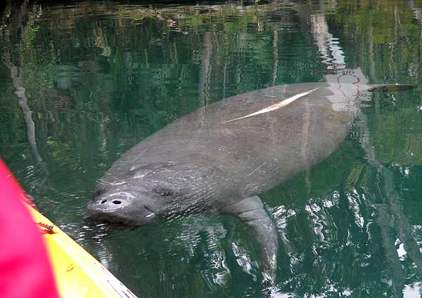 Manatee at Weeki Wachee Springs State Park in Florida