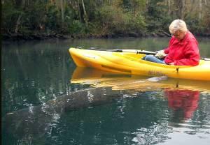 Manatee nudges kayak at Weeki Wachee Springs, Florida