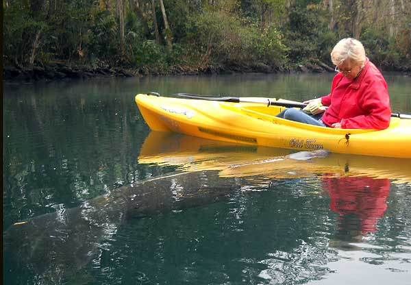 Manatee nudges kayak at Weeki Wachee Springs, Florida