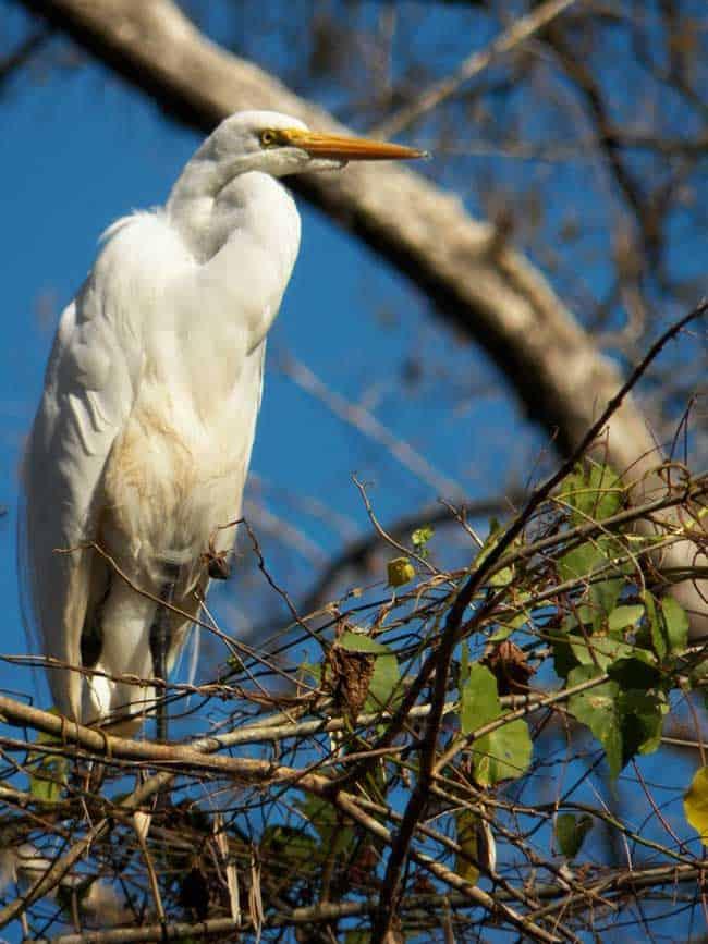 Corkscrew Sanctuary Naples Great Egret