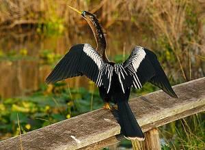 Anhinga on Anhinga Trail in the Everglades