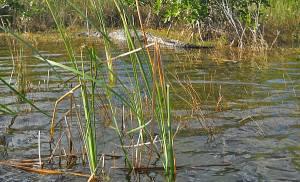 Crocodile along Everglades National Park Nine Mile Pond canoe trail