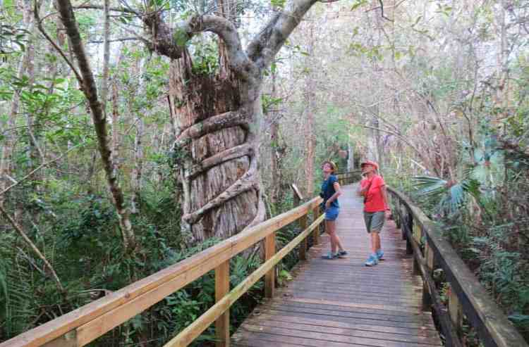 Strangler fig along Big Cypress Bend Boardwalk along the Tamiami Trail. (Photo: David Blasco)