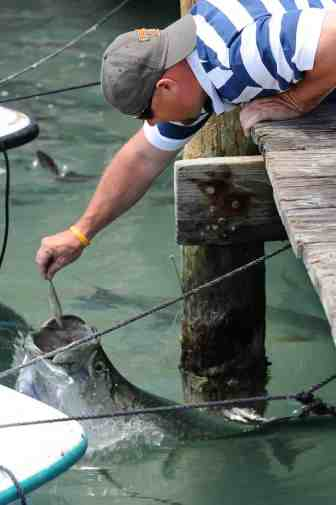 Tarpon being fed at Robbie's Marina
