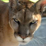 2014 Florida Panther Festival Nov.15 celebrates endangered animal