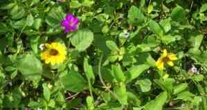 Secret beach: Hobe Sound NWR beach flowers