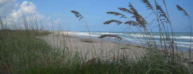 Sea oats line 5 miles of wild beach at Hobe Sound NWR.