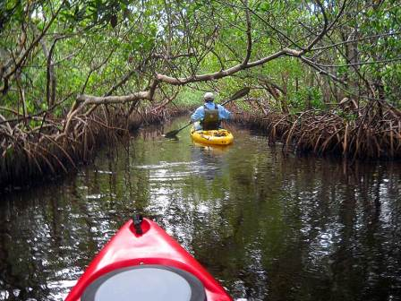 Kayaking through mangrove tunnel in Charlotte Harbor