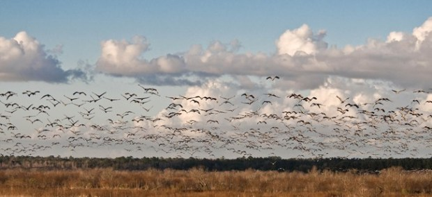Flock of sandhill cranes take flight at Paynes Prairie Preserve, 2008