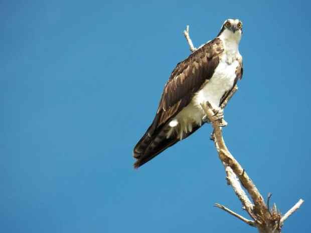 Osprey at MacArthur Beach State Park, Florida